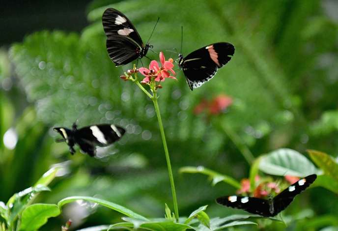 Living butterflies return to the American Museum of Natural History